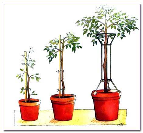 Как сажать штамбовые деревья 77