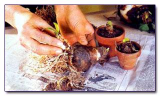Когда сажать амариллис из луковицы 46