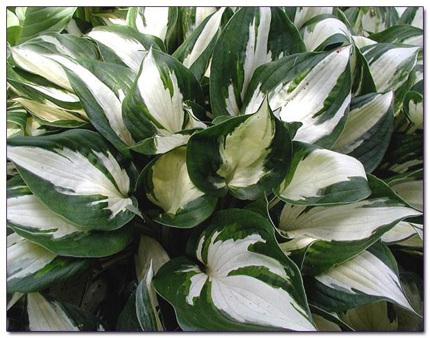 Вы огорчены, что ваш балкон освещается ...: sad-udachi.ru/gardening-articles/indoors-plants/shadow-plants.html
