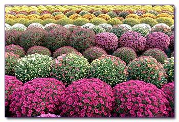 Хризантемы в дизайне осеннего сада