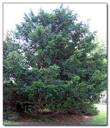 Деревья 5 16 м высотой с желтовато